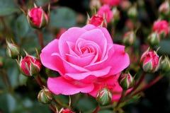 Pink rose. Pink flower macro picture beautiful bright spring garden rose nature stock image