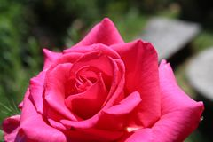 Pink rose flower, macro photography, my organic garden royalty free stock images