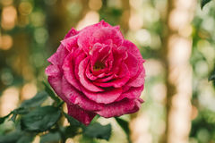 Pink rose flower. Stock Photos
