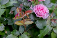 Pink rose flower on nature background.Beautiful rose flower in garden.flowers on the rose bush in flower garden at the Stock Photo