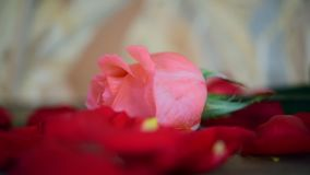 Pink rose flower on wooden floor Valentine`s Day. Pink rose flower nature beautiful flowers from the garden and petal of red rose flower for valentines on wooden stock footage