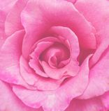 Pink rose flower petal. For background royalty free stock images