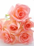 Pink rose flower. Pile of pink rose blossoms on white background Stock Photos
