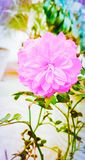 Pink rose flower . stock photos