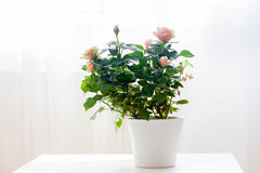Pink rose flower in a pot on a table stock photos
