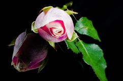 Pink rose flower on reflection. Pink roses flower with reflection on black surface background royalty free stock image