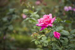 Pink Rose Flower Stock Image