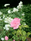 Pink Rose. Flower on a Sunny Day English Garden Royalty Free Stock Photo