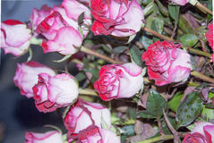 Pink Rose Flower for Valentine, party, anniversary Stock Photo