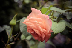 Pink rose flower with water drops Stock Image
