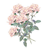 Pink rose flower, watercolor, bouquet Royalty Free Stock Photo