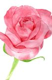 Pink rose flower Stock Images