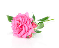 Pink rose flower  on white Royalty Free Stock Images