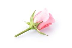Pink rose flower Stock Photos