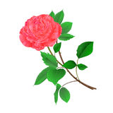 Pink rose flower on a white background vintage vector Stock Images
