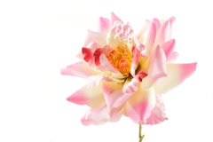 Pink rose flower on white Stock Images