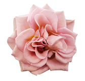 Pink rose flower, white isolated background with clipping path.  Closeup. no shadows Royalty Free Stock Photography