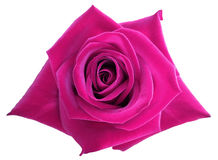 Pink rose flower  on white isolated background with clipping path.  no shadows. Closeup. Stock Image