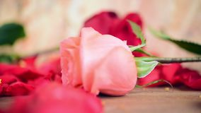 Pink rose flower on wooden floor Valentine's Day. Pink rose and red rose flower nature beautiful flowers from the garden and petal of red rose flower on wooden stock video