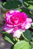 Pink rose on the flowerbed Royalty Free Stock Photo