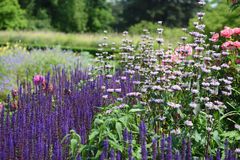 Pink rose in flowerbed with purple blue sage and white Lampwick. Plant also known as Jerusalem Sage stock images