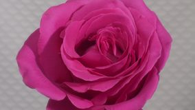 Pink rose flowering. Isolated red rose blooming timelapse stock video footage