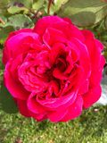 Pink Rose. Pink flowering Rose in summer Stock Photography