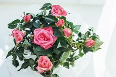 Pink rose flowers arrangement  on white Royalty Free Stock Images