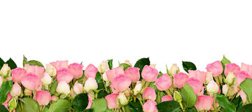 Pink rose flowers border Royalty Free Stock Image