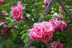 Pink rose flowers Stock Photography