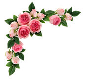 Pink rose flowers and buds corner arrangement. Isolated on white. Flat lay, top view Stock Photography