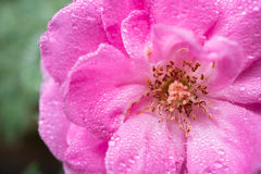 Pink rose flowers Stock Images