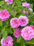 Pink Rose Flowers in Garden Stock Images