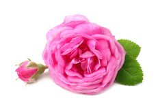 Pink rose flowers isolated on white background. stock photo