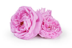 Pink rose flowers Royalty Free Stock Photography