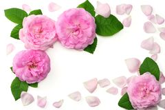 Pink rose flowers isolated on white background. top view royalty free stock photos