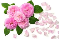 Pink rose flowers isolated on white background. top view stock images