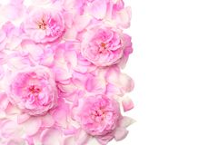 Pink rose flowers isolated on white background. top view royalty free stock photography