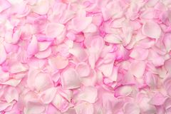 Pink rose flowers isolated on white background. top view stock photo