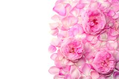 Pink rose flowers isolated on white background. top view stock image