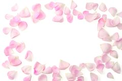 Pink rose flowers isolated on white background. top view stock photos