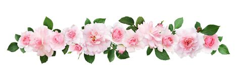 Pink rose flowers and leaves in a line composition. Isolated on white background royalty free stock photos