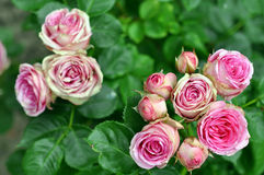 Pink Rose Flowers In Nature Royalty Free Stock Image