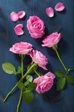 Pink rose flowers over dark blue background Stock Images
