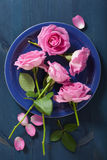 Pink rose flowers over dark blue background Royalty Free Stock Image