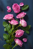 Pink rose flowers over dark blue background Royalty Free Stock Photography