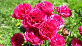 Pink rose flowers. The rose is a prickly bush or shrub that typically bears red, pink, yellow, or white fragrant flowers, native to north temperate regions royalty free stock photography