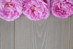 Pink rose flowers Royalty Free Stock Photos