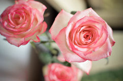 Pink Rose Flowers on the Table. Pink Spring Rose Flower on the Table Stock Images