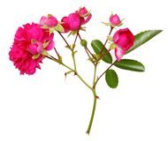 Pink rose flowers twig isolated Royalty Free Stock Photography